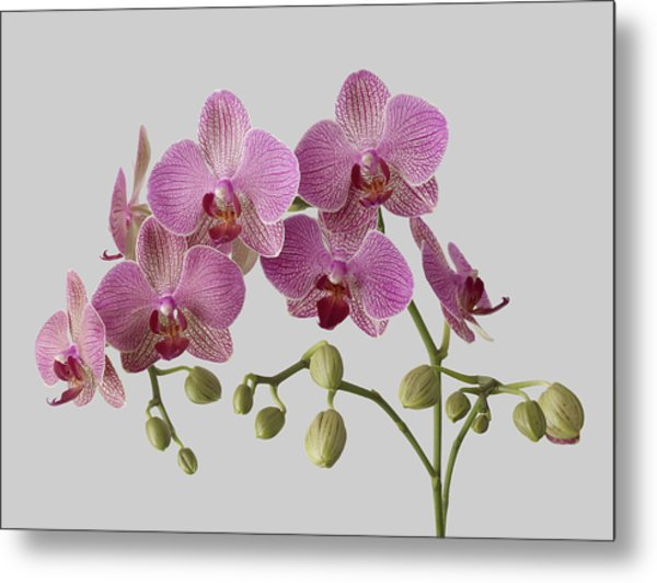 Orchid Plant On Grey Background Metal Print by William Turner