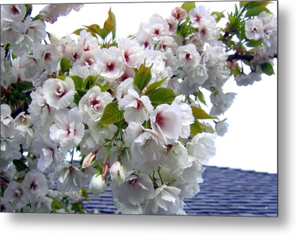Oregon Cherry Blossoms Metal Print