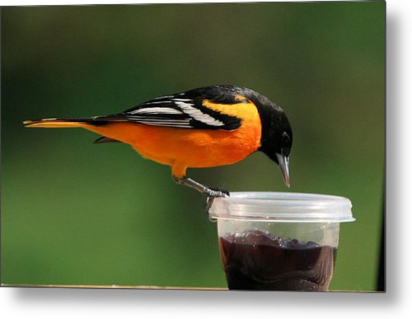 Oriole At Feeder Metal Print