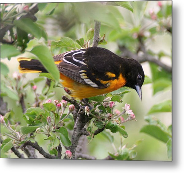 Oriole With Apple Blossoms Metal Print