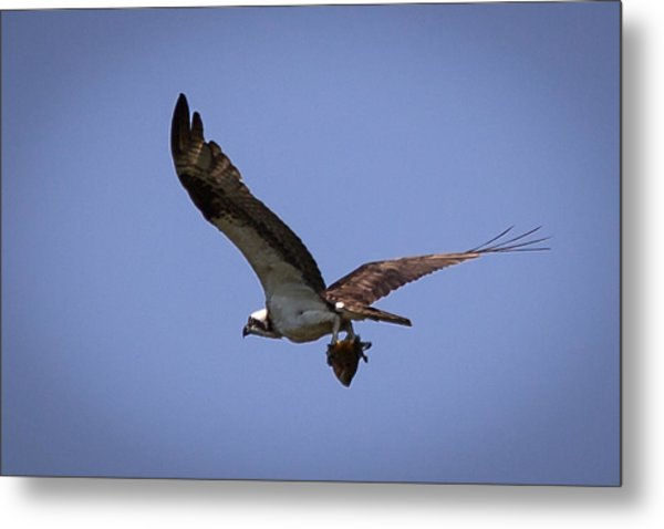 Osprey Carrying Fish  Metal Print