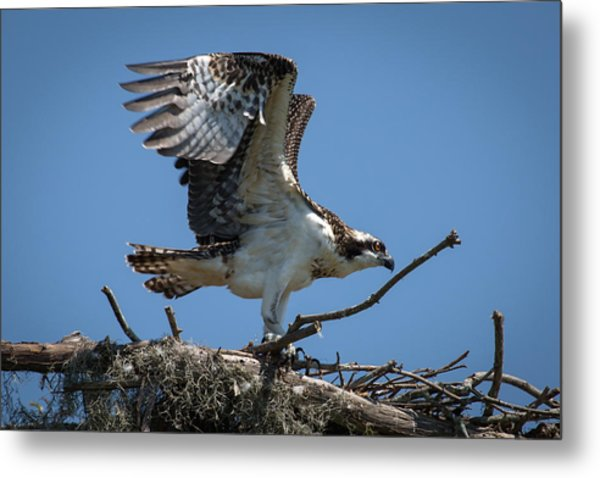 Osprey Departing Nest Metal Print