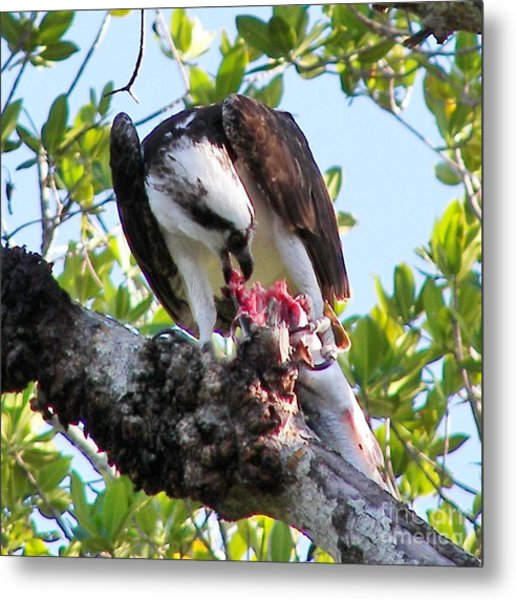 Osprey Eating A Large Fish Metal Print by Judy Via-Wolff