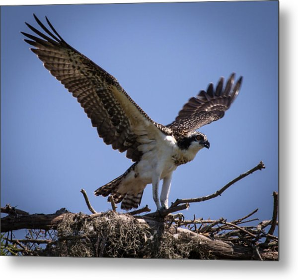 Osprey In Nest Ready To Fly Metal Print