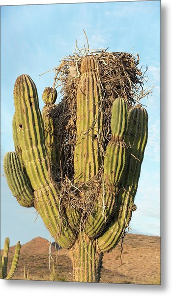 Osprey Nest In A Cactus Metal Print by Christopher Swann
