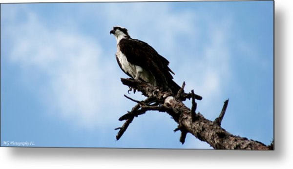 Osprey On Perch Metal Print