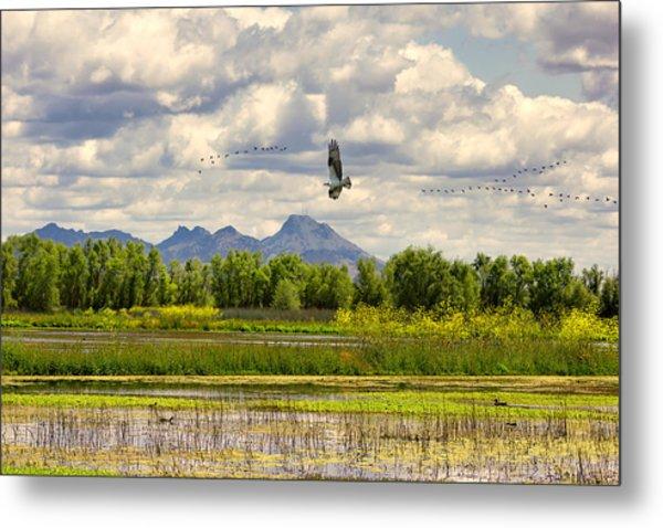 Osprey Over The Wetlands Metal Print