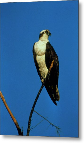 Osprey (pandion Haliaetus) Perched On A Branch Metal Print