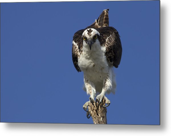 Osprey Photo Metal Print