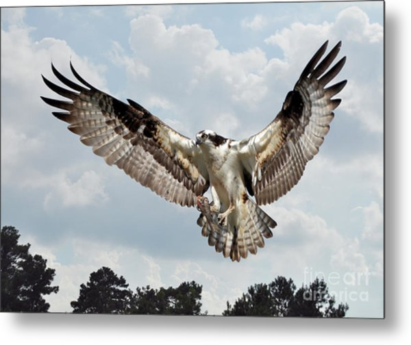 Osprey With Fish In Talons Metal Print by Kathy Baccari