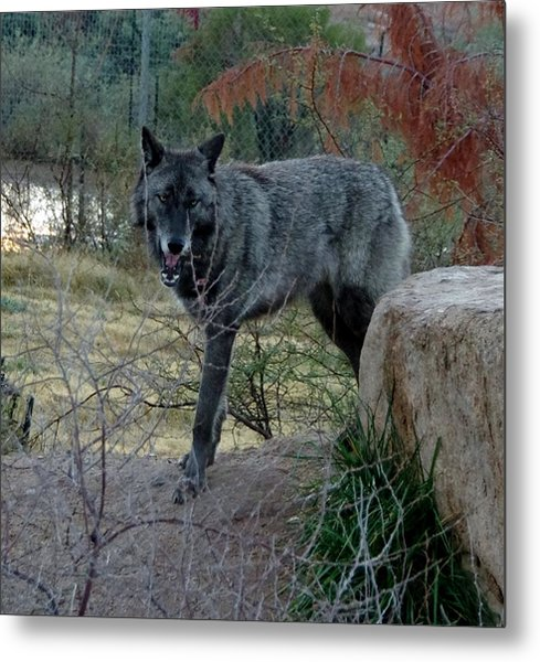 Out Of Africa Black Wolf Metal Print