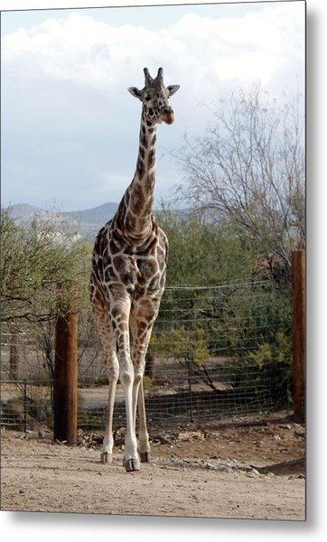 Out Of Africa  Giraffe 1 Metal Print