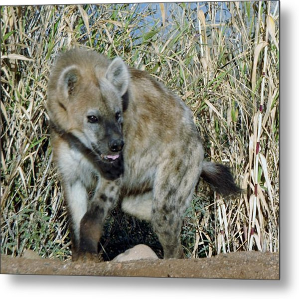 Out Of Africa  Hyena 2 Metal Print