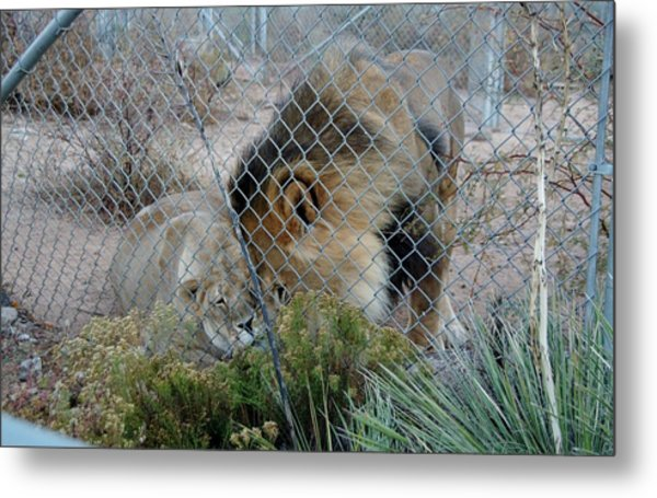 Out Of Africa Lions 4 Metal Print