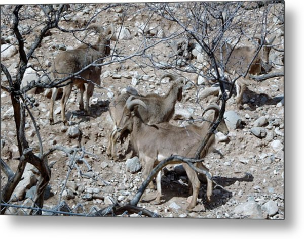 Out Of Africa  Mountain Goats Metal Print