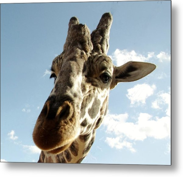 Out Of Africa  Reticulated Giraffe Metal Print
