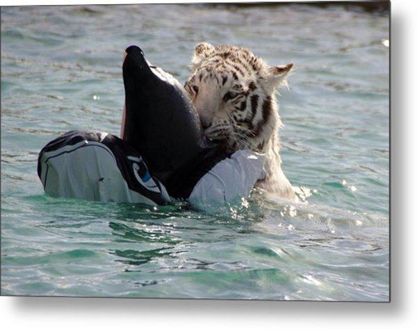Out Of Africa Tiger Splash 4 Metal Print