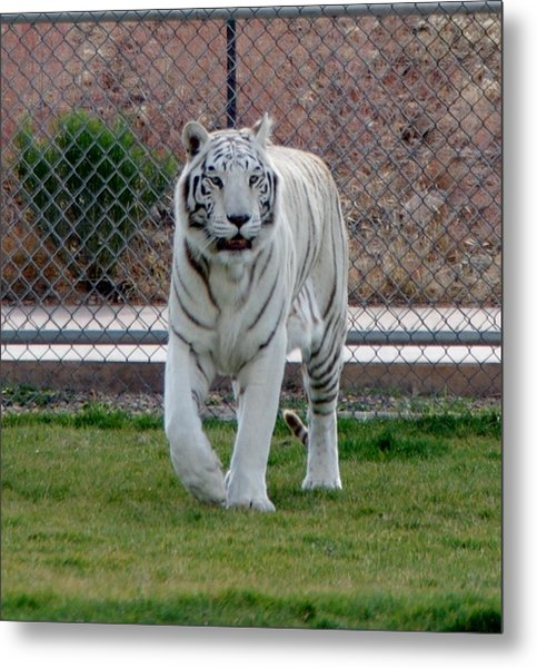 Out Of Africa White Tiger Metal Print