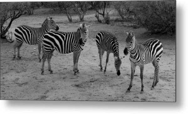 Out Of Africa  Zebras Metal Print
