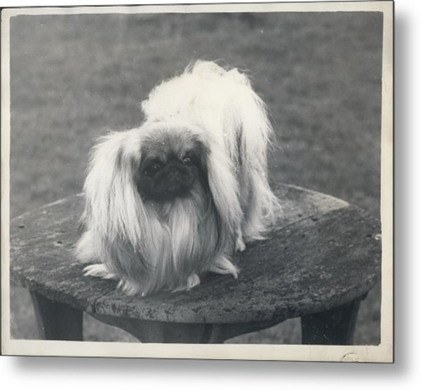 Owner- Refuses £10,500 Offer For Pekinese Metal Print by Retro Images Archive
