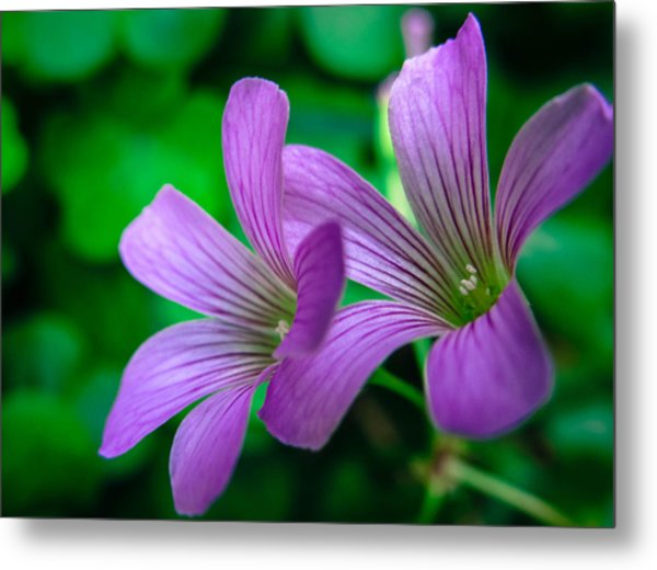 Oxalis II Metal Print by Stacy Michelle Smith