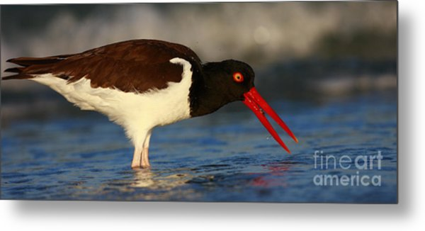 Oystercatcher In Surf Metal Print