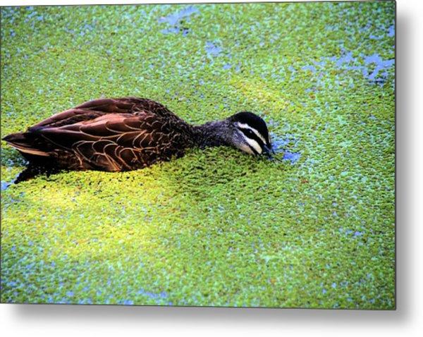 Pacific Black Duck In Algae Metal Print