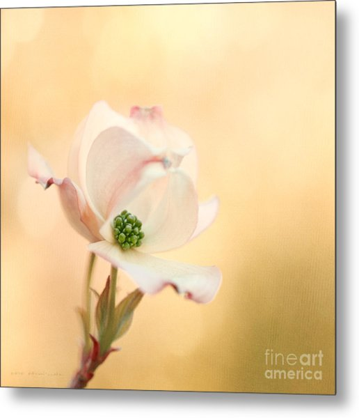Pacific Dogwood Metal Print by Beve Brown-Clark Photography