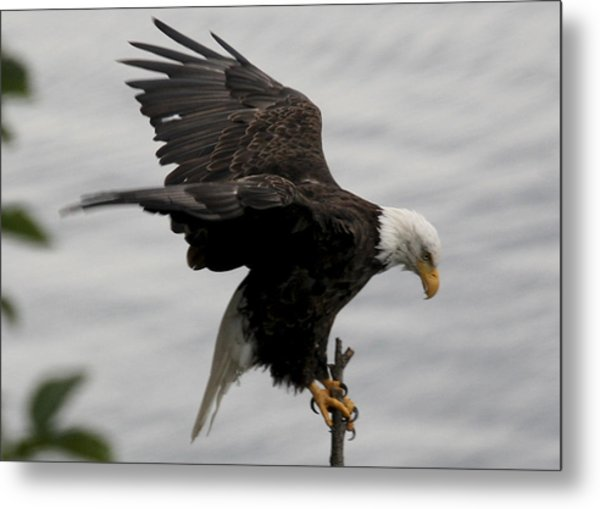 Pacific Northwest Eagle  Metal Print by Mary Gaines