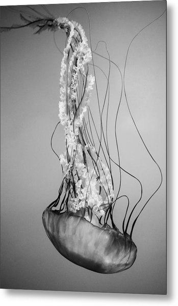 Pacific Sea Nettle - Black And White Metal Print