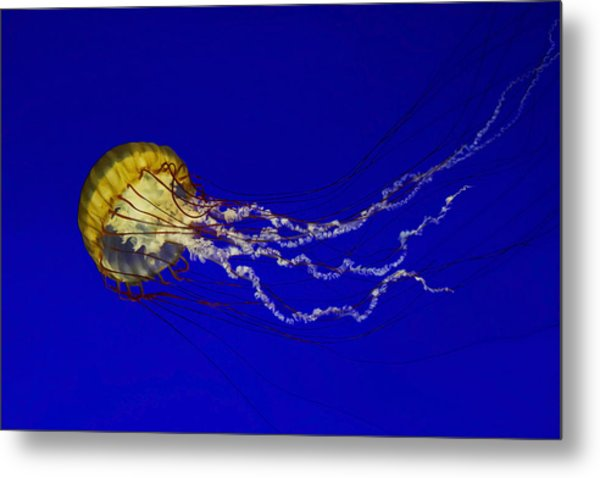 Pacific Sea Nettle Metal Print