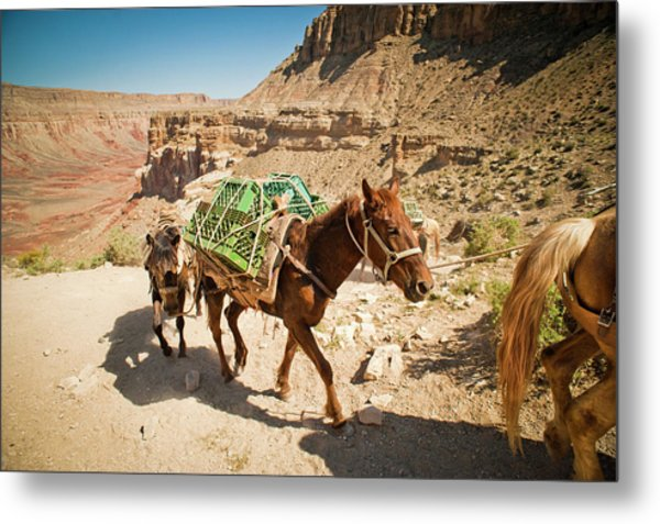 Pack Horses Carry Gear Out Of The Grand Metal Print