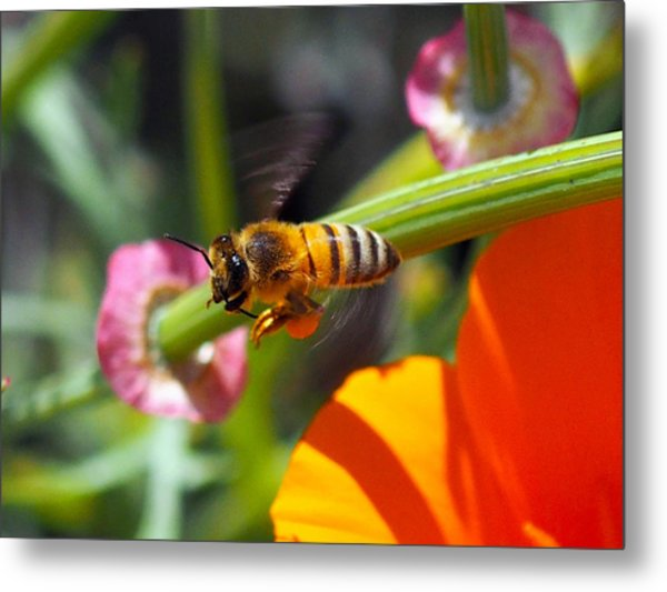 Packin Poppy Pollen Metal Print