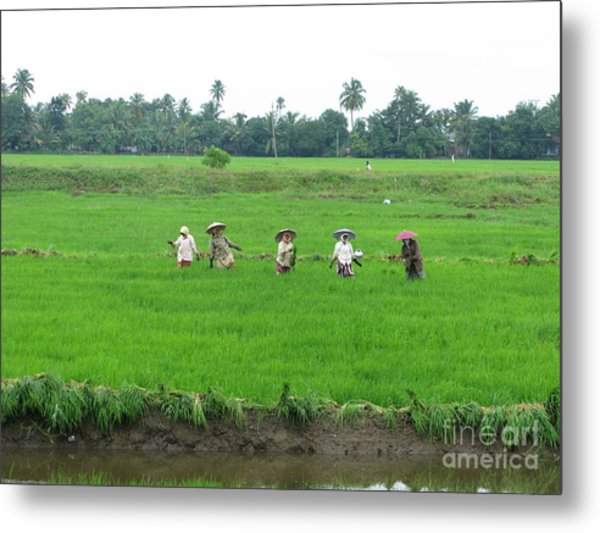 Paddy Field Workers Metal Print