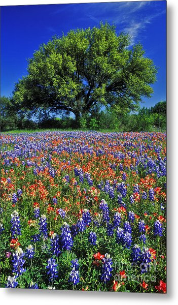 Paintbrush And Bluebonnets - Fs000057 Metal Print
