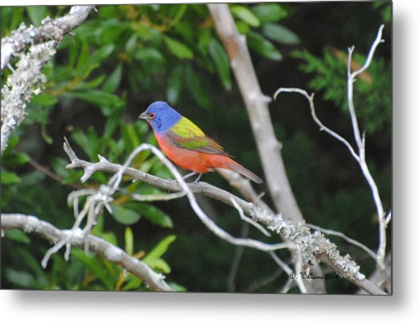 Painted Bunting Out On A Limb Metal Print