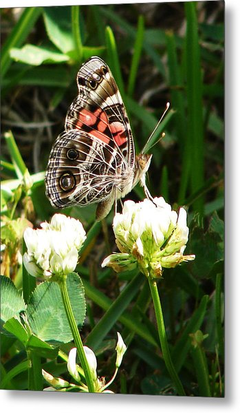 Painted Lady Butterfly 					 Metal Print by Ella Char