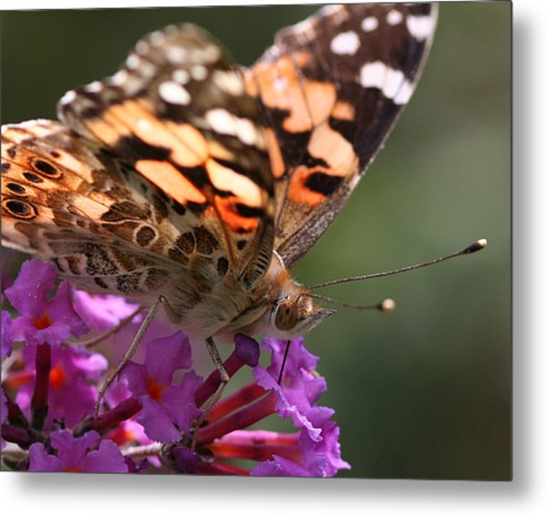 Painted Lady On Butterfly Bush Metal Print