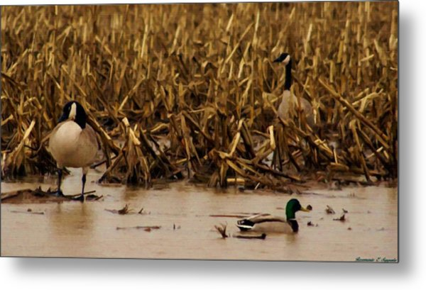 Pair Of Canada Geese And Teal Duck Metal Print by Rosemarie E Seppala