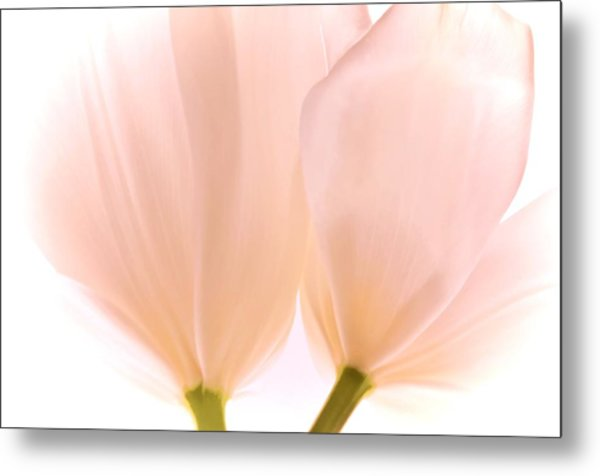 Pale Pink Tulips With Vignette Metal Print