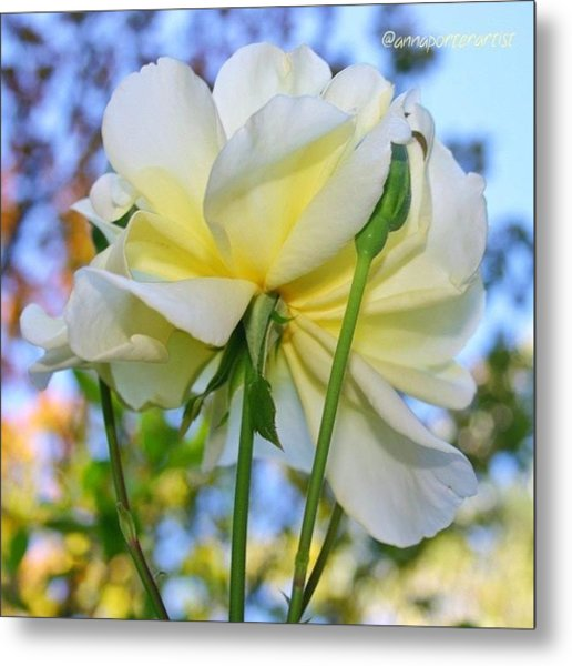 Pale Yellow Rose And Blue Sky Metal Print