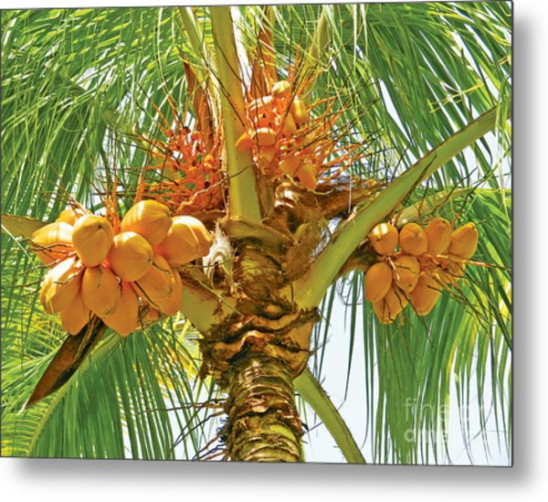 Palm Tree With Coconuts Metal Print