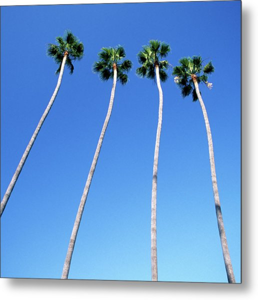 Palm Trees Lining Hollywood Boulevard Metal Print