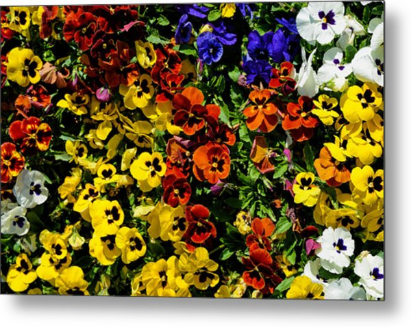 Pansy Color Mix  Metal Print