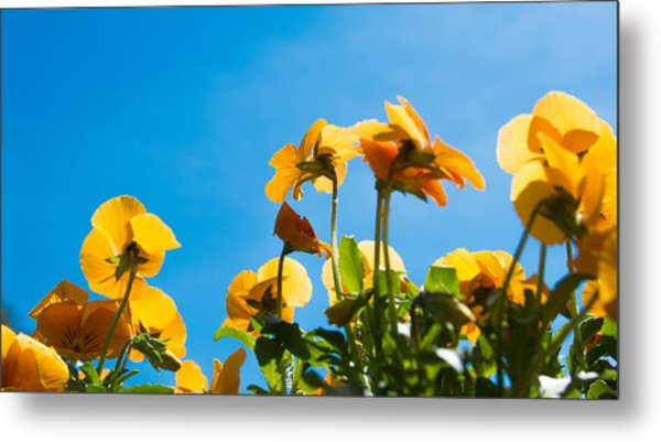 Pansy Flowers And The Clear Blue Sky Metal Print by Priyanka Ravi