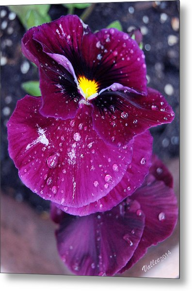 Pansy In The Dew Metal Print by Vallee Johnson