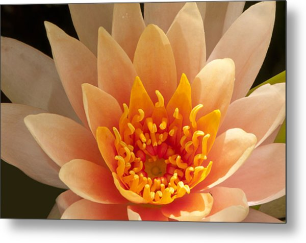 Pastel Waterlily Metal Print