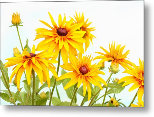 Patch Of Black-eyed Susan Metal Print