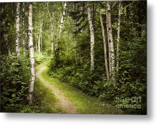 Path In Birch Forest Metal Print
