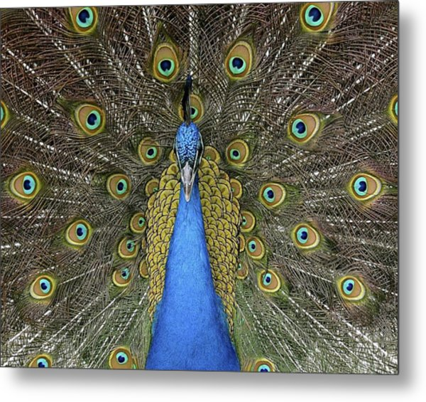 Patient Peacock Metal Print
